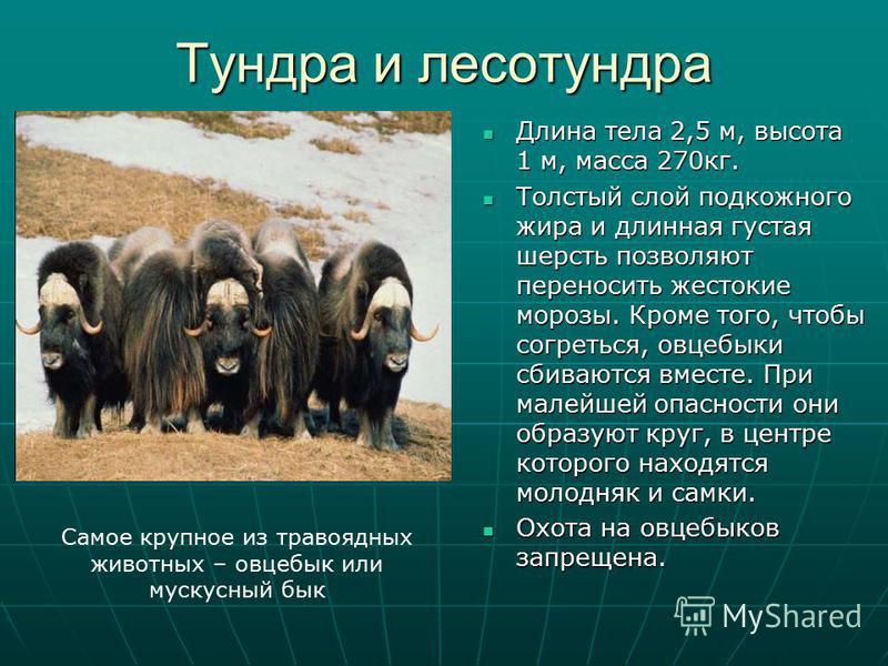Тундра и лесотундра Длина тела 2,5 м, высота 1 м, масса 270 кг. Длина тела 2,5 м, высота 1 м, масса 270 кг. Толстый слой подкожного жира и длинная густая шерсть позволяют переносить жестокие морозы. Кроме того, чтобы согреться, овцебыки сбиваются вме