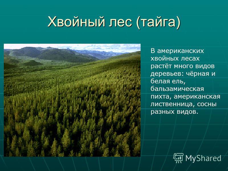 Хвойный лес (тайга) В американских хвойных лесах растёт много видов деревьев: чёрная и белая ель, бальзамическая пихта, американская лиственница, сосны разных видов.