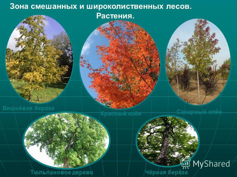 Зона смешанных и широколиственных лесов. Растения. Вишнёвая береза Красный клён Сахарный клён Тюльпановое дерево Чёрная берёза