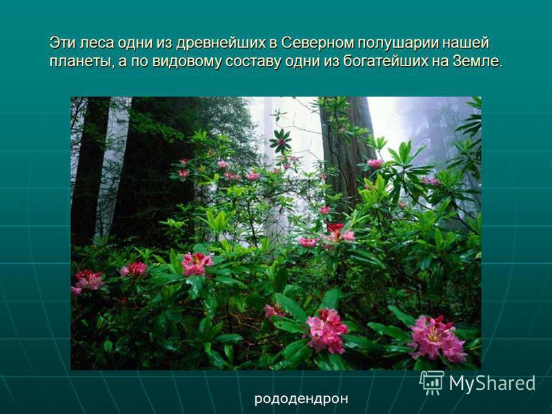 Эти леса одни из древнейших в Северном полушарии нашей планеты, а по видовому составу одни из богатейших на Земле. рододендрон