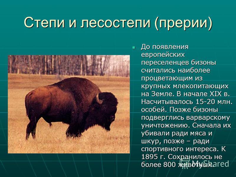 Степи и лесостепи (прерии) До появления европейских переселенцев бизоны считались наиболее процветающим из крупных млекопитающих на Земле. В начале XIX в. Насчитывалось 15-20 млн. особей. Позже бизоны подверглись варварскому уничтожению. Сначала их у