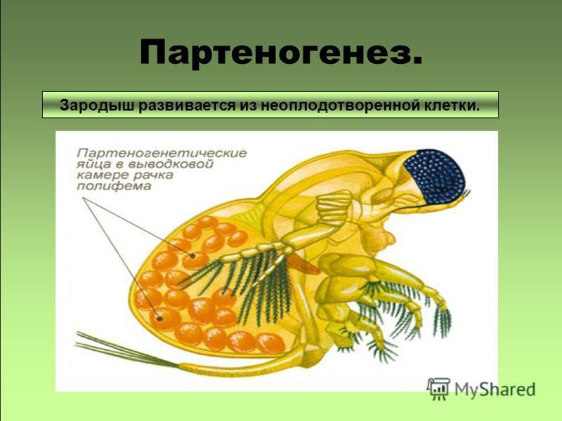 –Зародыш развивается без оплодотворения яйцеклетки. Партеногенез. Зародыш развивается из неоплодотворенной клетки.