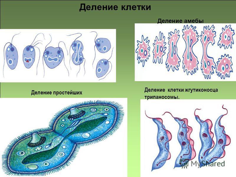 Деление клетки жгутиконосца трипаносомы. Деление простейших Деление клетки Деление амебы