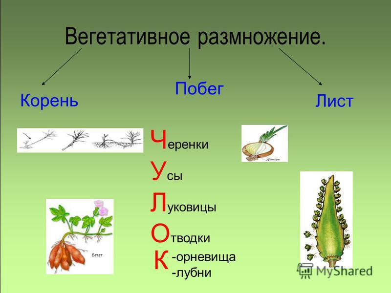 Вегетативное размножение. Корень Побег Лист Ч еренки У сы Л уковицы О тводки -корневища -лубни К