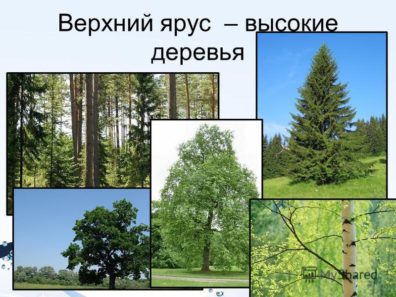 Верхний ярус – высокие деревья