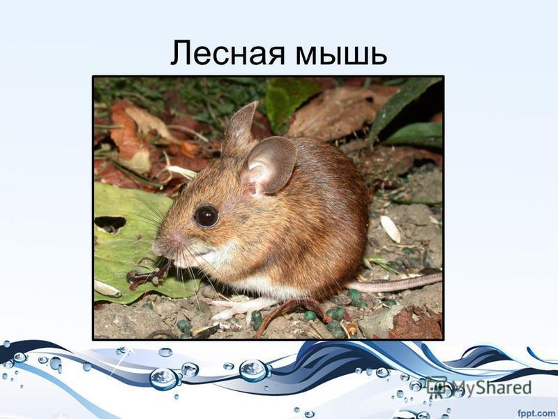 Лесная мышь