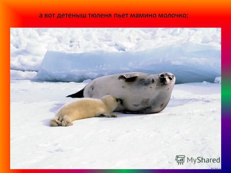 а вот детеныш тюленя пьет мамино молочко;