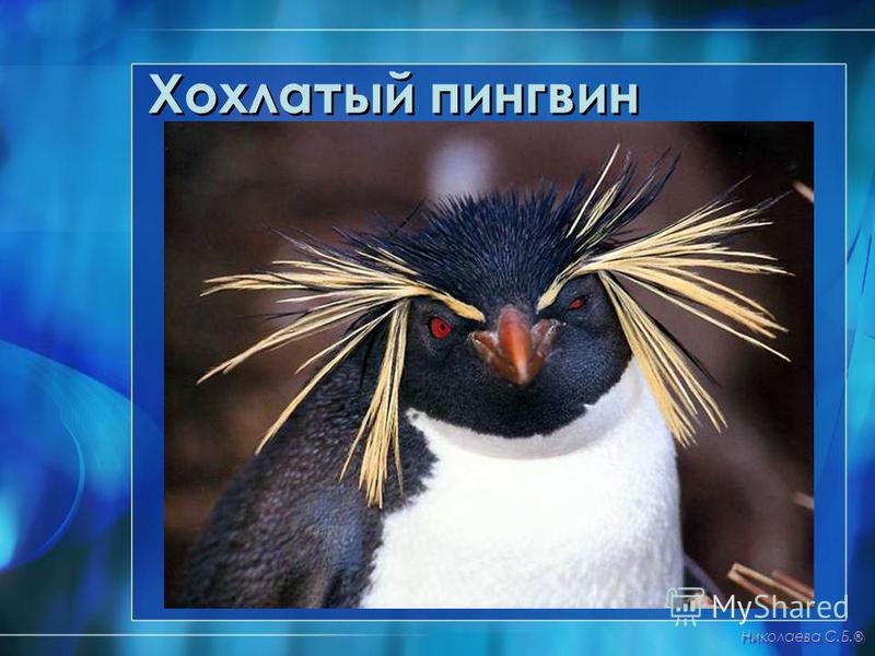 Хохлатый пингвин