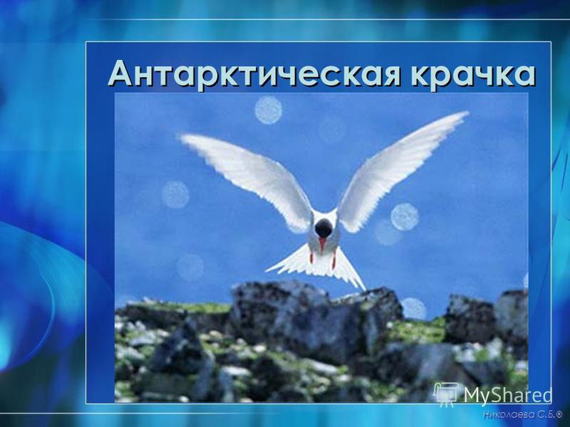 Антарктическая крачка Николаева С.Б. ®