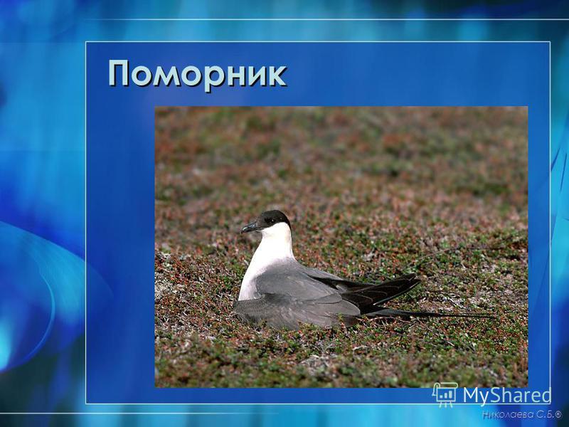 Поморник Николаева С.Б. ®