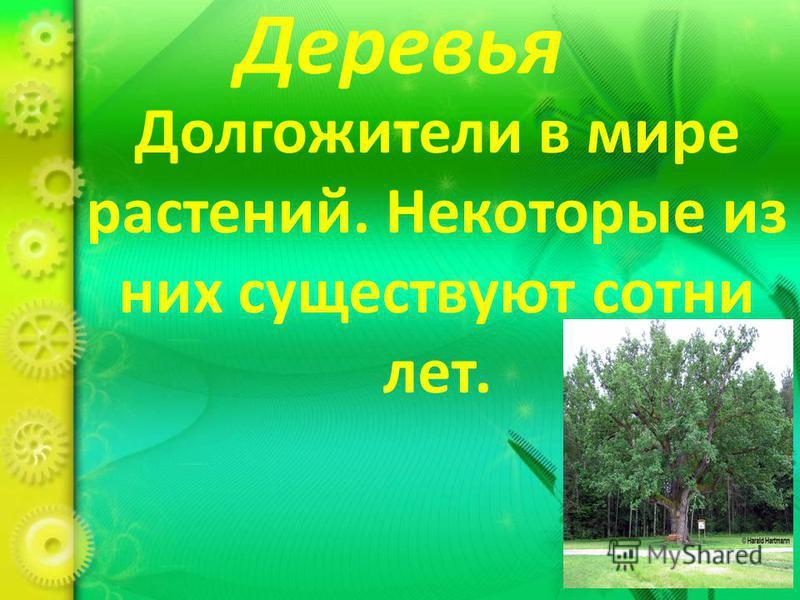 Деревья Долгожители в мире растений. Некоторые из них существуют сотни лет.