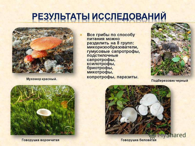 Все грибы по способу питания можно разделить на 8 групп: микоризообразователи, гумусовые сапротрофные, подстилочные сапротрофные, ксилотрофы, биотрофы, микотрофы, копротрофы, паразиты. Говорушкаф корончатая Подберезовик черный Мухомор красный. Говору