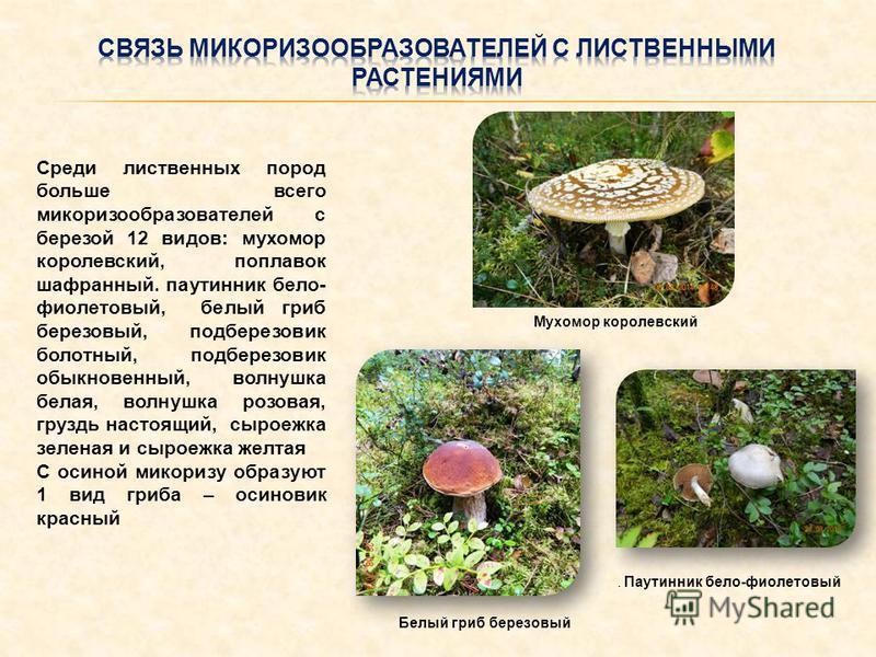 Среди лиственных пород больше всего микоризообразователей с березой 12 видов: мухомор королевский, поплавок шафранный. паутинник бело- фиолетовый, белый гриб березовый, подберезовик болотный, подберезовик обыкновенный, волнушкаф белая, волнушкаф розо