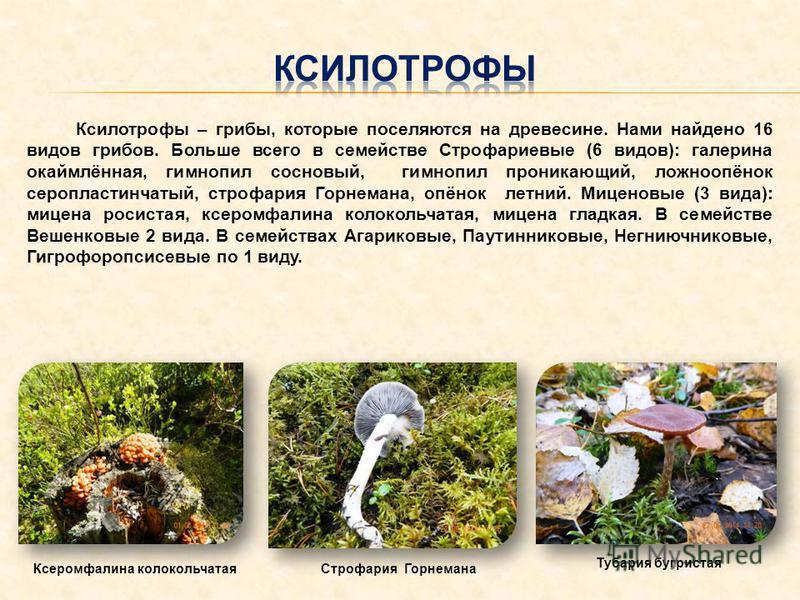 Ксилотрофы – грибы, которые поселяются на древесине. Нами найдено 16 видов грибов. Больше всего в семействе Строфариевые (6 видов): галеркина окаймлённая, гимн опил сосновый, гимн опил проникающий, ложноопёнок серо пластинчатый, строфария Горнемана,