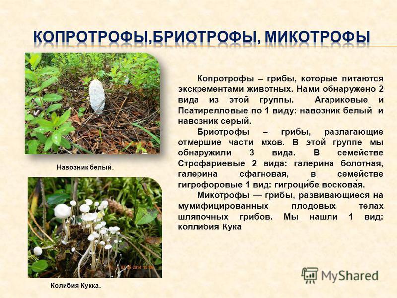 Копротрофы – грибы, которые питаются экскрементами животных. Нами обнаружено 2 вида из этой группы. Агариковые и Псатирелловые по 1 виду: навозник белый и навозник серый. Бриотрофы – грибы, разлагающие отмершие части мхов. В этой группе мы обнаружили