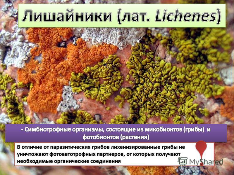 В отличие от паразитических грибов лихенизированные грибы не уничтожают фотоавтотрофных партнеров, от которых получают необходимые органические соединения