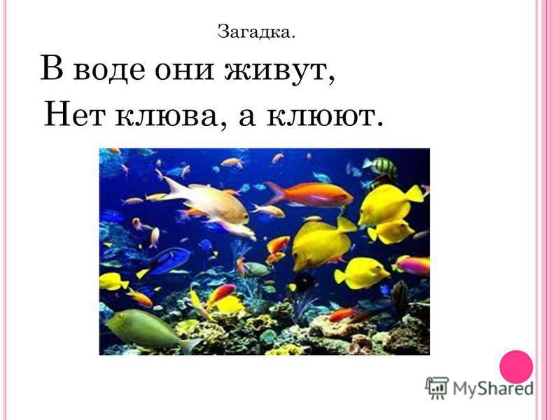 Загадка. В воде они живут, Нет клюва, а клюют.