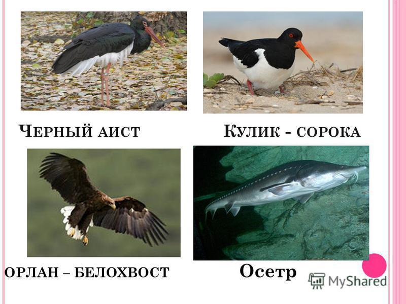 Ч ЕРНЫЙ АИСТ К УЛИК - СОРОКА ОРЛАН – БЕЛОХВОСТ Осетр