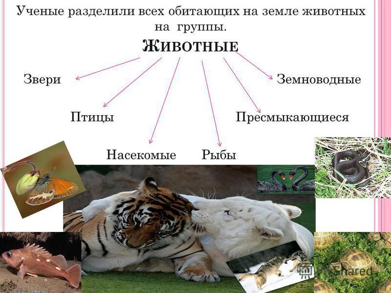 Ж ИВОТНЫЕ Звери Земноводные Птицы Пресмыкающиеся Насекомые Рыбы Ученые разделили всех обитающих на земле животных на группы.