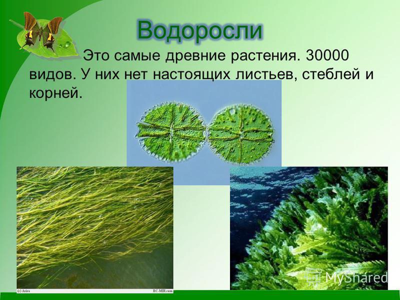 Это самые древние растения. 30000 видов. У них нет настоящих листьев, стеблей и корней.