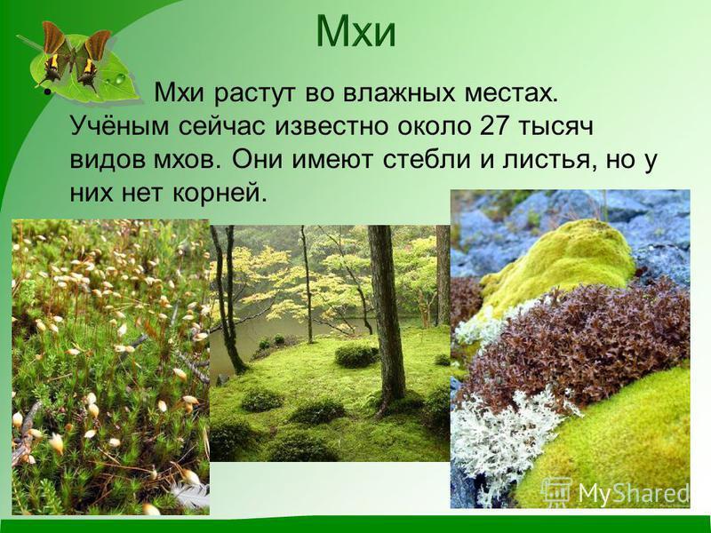Мхи растут во влажных местах. Учёным сейчас известно около 27 тысяч видов мхов. Они имеют стебли и листья, но у них нет корней.