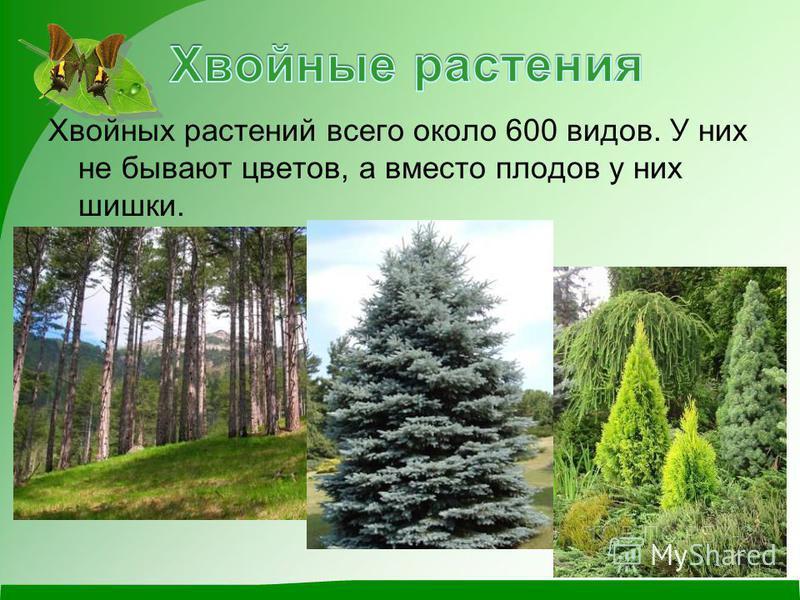 Хвойных растений всего около 600 видов. У них не бывают цветов, а вместо плодов у них шишки.