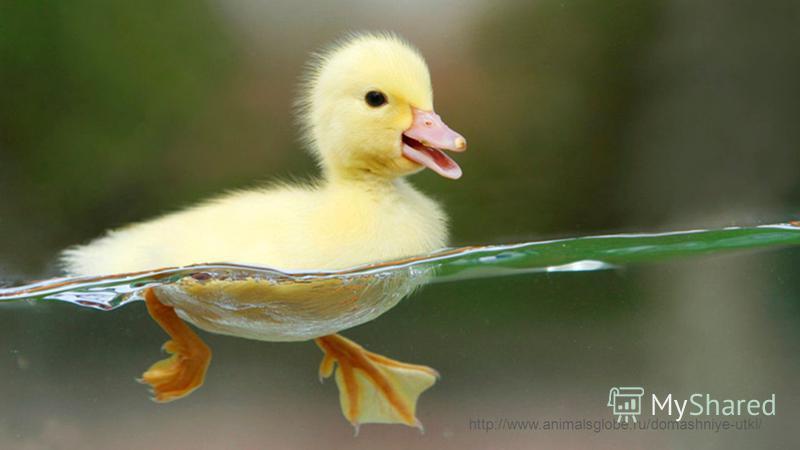 http://www.animalsglobe.ru/domashniye-utki/