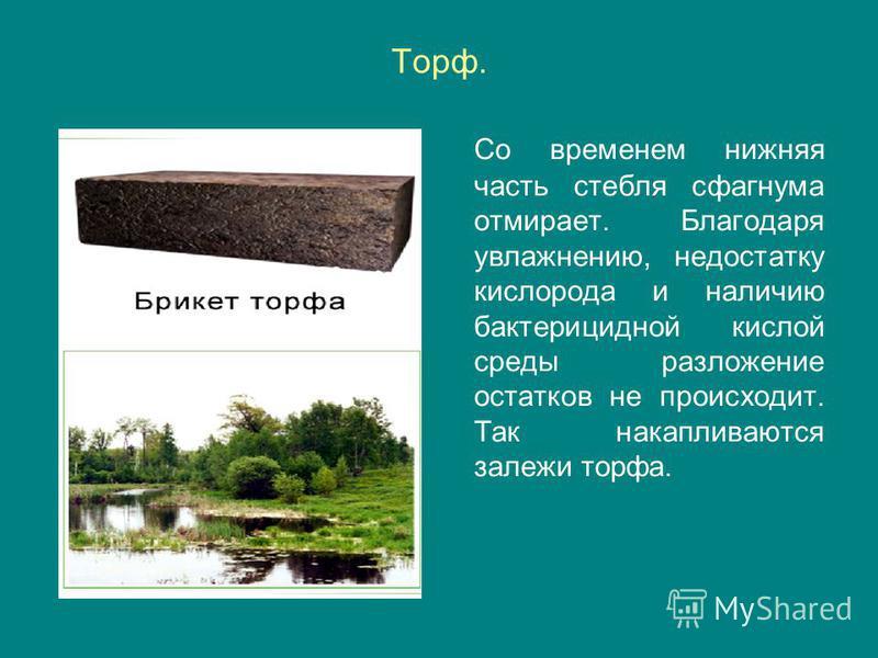 Торф. Со временем нижняя часть стебля сфагнума отмирает. Благодаря увлажнению, недостатку кислорода и наличию бактерицидной кислой среды разложение остатков не происходит. Так накапливаются залежи торфа.