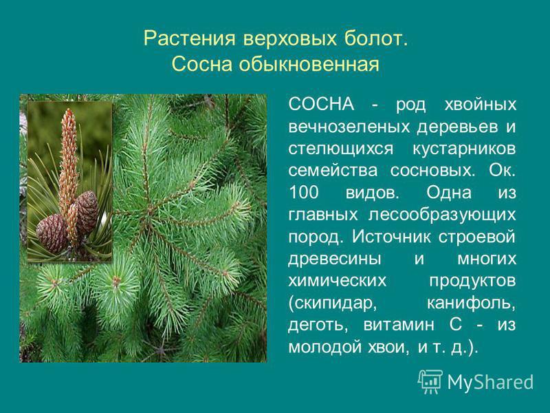 Растения верховых болот. Сосна обыкновенная СОСНА - род хвойных вечнозеленых деревьев и стелющихся кустарников семейства сосновых. Ок. 100 видов. Одна из главных лесообразующих пород. Источник строевой древесины и многих химических продуктов (скипида