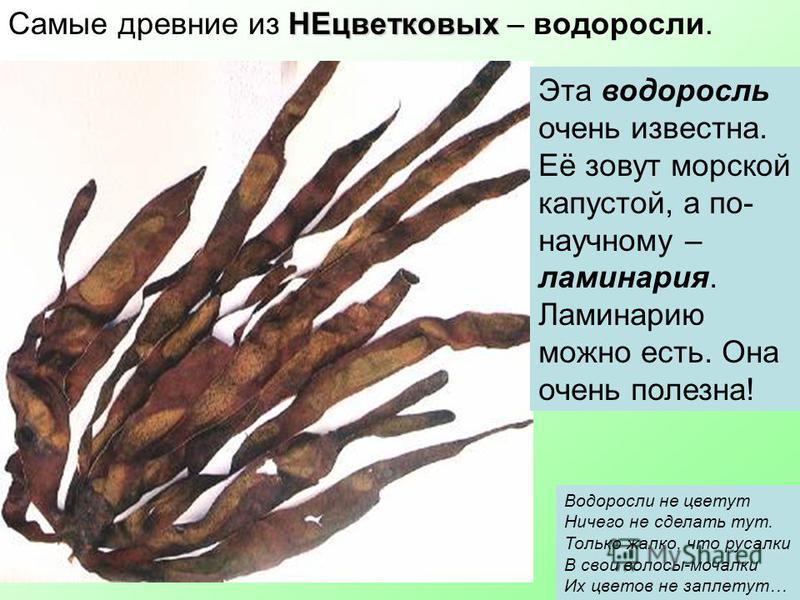 НЕцветковых Самые древние из НЕцветковых – водоросли. Эта водоросль очень известна. Её зовут морской капустой, а по- научному – ламинария. Ламинарию можно есть. Она очень полезна! Водоросли не цветут Ничего не сделать тут. Только жалко, что русалки В
