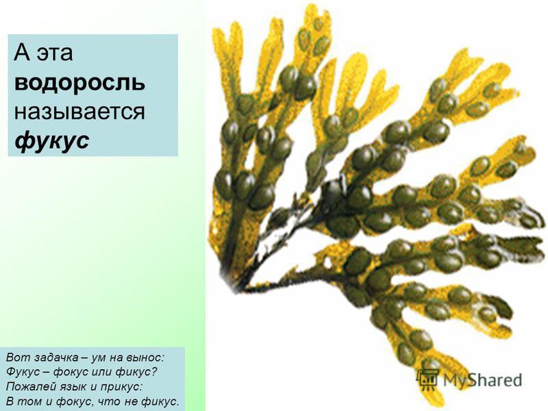 А эта водоросль называется фукус Вот задачка – ум на вынос: Фукус – фокус или фикус? Пожалей язык и прикус: В том и фокус, что не фикус.