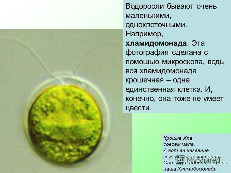 Водоросли бывают очень маленькими, одноклеточными. Например, хламидомонада. Эта фотография сделана с помощью микроскопа, ведь вся хламидомонада крошечная – одна единственная клетка. И, конечно, она тоже не умеет цвести. Крошка Хла совсем мала, А вот