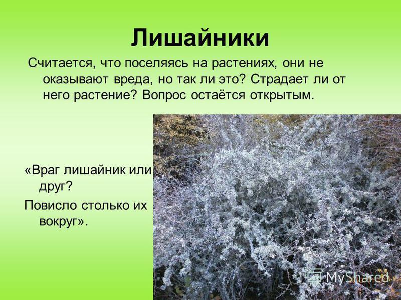 Лишайники «Враг лишайник или друг? Повисло столько их вокруг». Считается, что поселяясь на растениях, они не оказывают вреда, но так ли это? Страдает ли от него растение? Вопрос остаётся открытым.