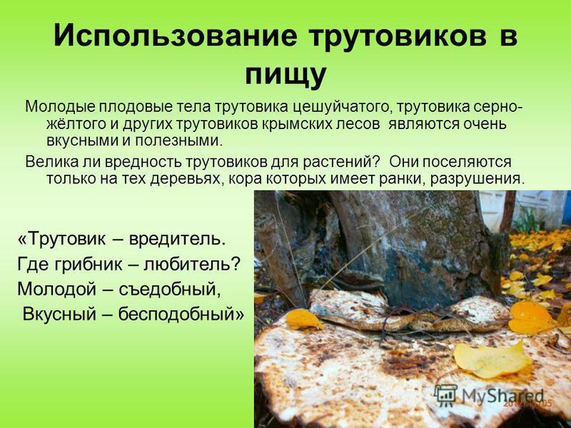 Использование трутовиков в пищу «Трутовик – вредитель. Где грибник – любитель? Молодой – съедобный, Вкусный – бесподобный» Молодые плодовые тела трутовика чешуйчатого, трутовика серно- жёлтого и других трутовиков крымских лесов являются очень вкусным