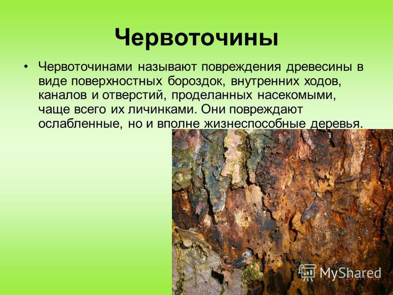 Червоточины Червоточинами называют повреждения древесины в виде поверхностных бороздок, внутренних ходов, каналов и отверстий, проделанных насекомыми, чаще всего их личинками. Они повреждают ослабленные, но и вполне жизнеспособные деревья.