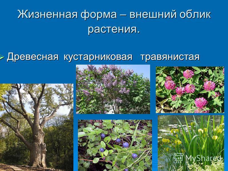 Жизненная форма – внешний облик растения. Древесная кустарниковая травянистая Древесная кустарниковая травянистая