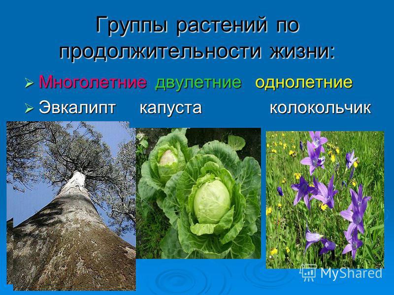 Группы растений по продолжительности жизни: Многолетние двулетние однолетние Многолетние двулетние однолетние Эвкалипт капуста колокольчик Эвкалипт капуста колокольчик
