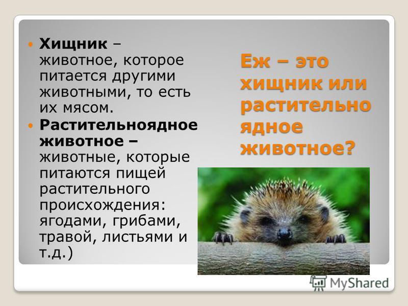 Еж – это хищник или растительноядное животное? Хищник – животное, которое питается другими животными, то есть их мясом. Растительноядное животное – животные, которые питаются пищей растительного происхождения: ягодами, грибами, травой, листьями и т.д