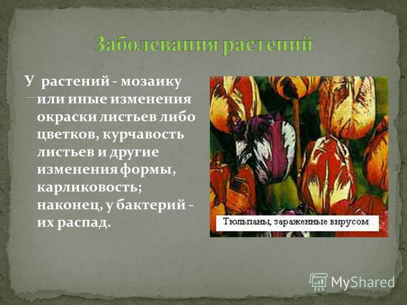 У растений - мозаику или иные изменения окраски листьев либо цветков, курчавость листьев и другие изменения формы, карликовость; наконец, у бактерий - их распад.