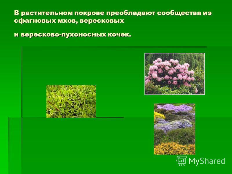 В растительном покрове преобладают сообщества из сфагновых мхов, вересковых и вересковой-пухоносных кочек.