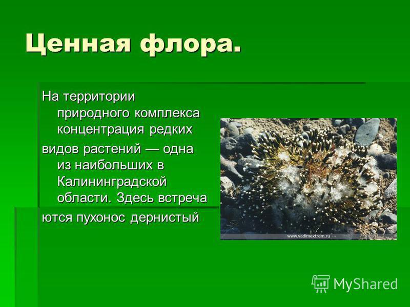 Ценная флора. На территории природного комплекса концентрация редких видов растений одна из наибольших в Калининградской области. Здесь встречаются пухонос дернистый