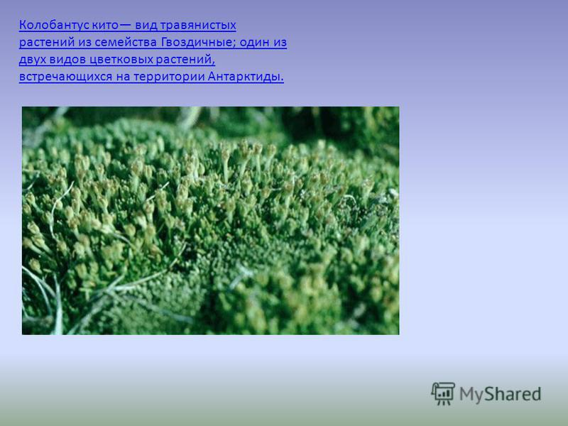 Колобантус кито вид травянистых растений из семейства Гвоздичные; один из двух видов цветковых растений, встречающихся на территории Антарктиды.