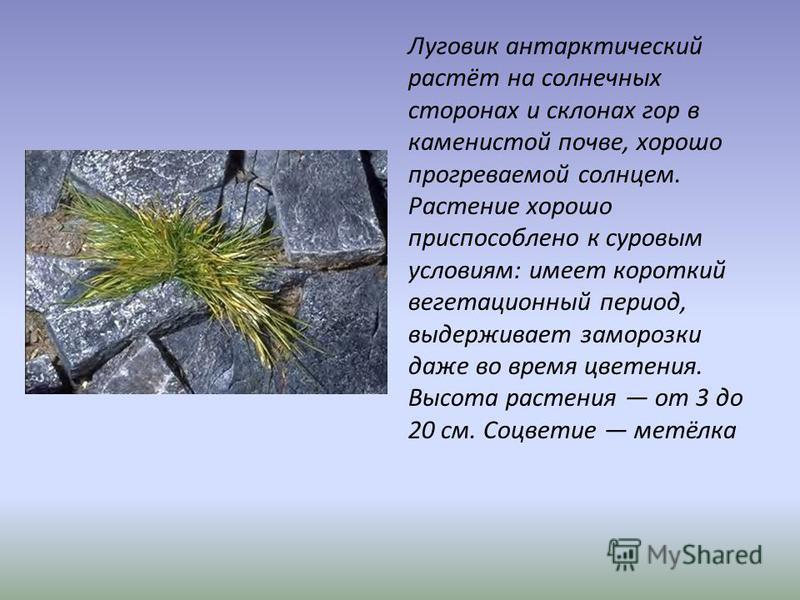 Луговик антарктический растёт на солнечных сторонах и склонах гор в каменистой почве, хорошо прогреваемой солнцем. Растение хорошо приспособлено к суровым условиям: имеет короткий вегетационный период, выдерживает заморозки даже во время цветения. Вы