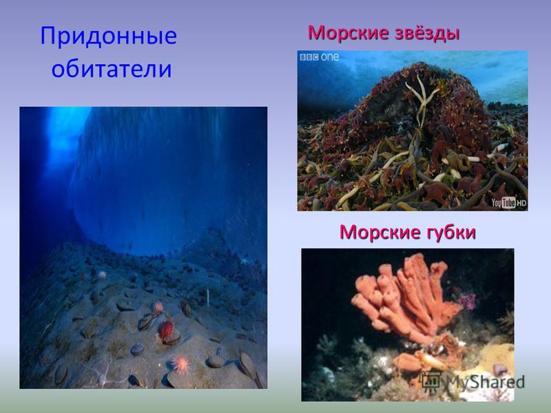 Придонные обитатели Морские звёзды Морские губки