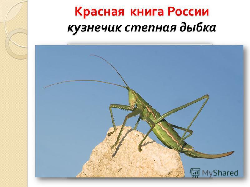 Красная книга России кузнечик степная дыбка