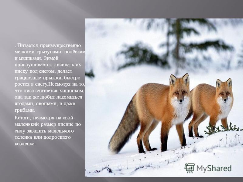 . Питается преимущественно мелкими грызунами : полёвками и мышками. Зимой прислушивается лисица к их писку под снегом, делает грациозные прыжки, быстро роется в снегу. Несмотря на то, что лиса считается хищником, она так же любит лакомиться ягодами,
