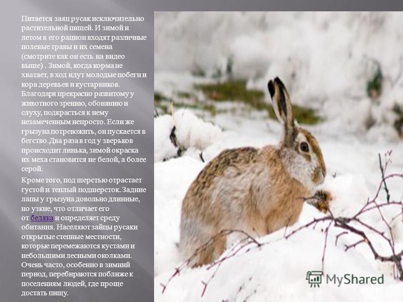Питается заяц русак исключительно растительной пищей. И зимой и летом в его рацион входят различные полевые травы и их семена ( смотрите как он есть на видео выше ). Зимой, когда корма не хватает, в ход идут молодые побеги и кора деревьев и кустарник