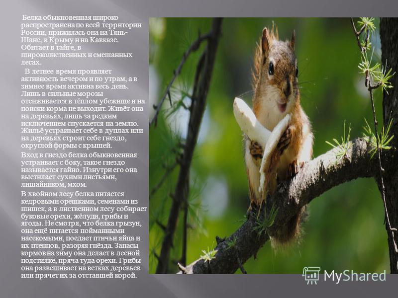 Белка обыкновенная широко распространена по всей территории России, прижилась она на Тянь - Шане, в Крыму и на Кавказе. Обитает в тайге, в широколиственных и смешанных лесах. В летнее время проявляет активность вечером и по утрам, а в зимнее время ак