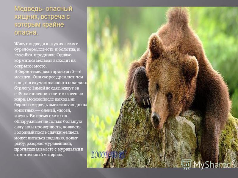 Медведь - опасный хищник, встреча с которым крайне опасна. Живут медведи в глухих лесах с буреломом, где есть и болотца, и лужайки, и родники. Однако кормиться медведь выходит на открытое место. В берлоге медведи проводят 56 месяцев. Они скорее дремл