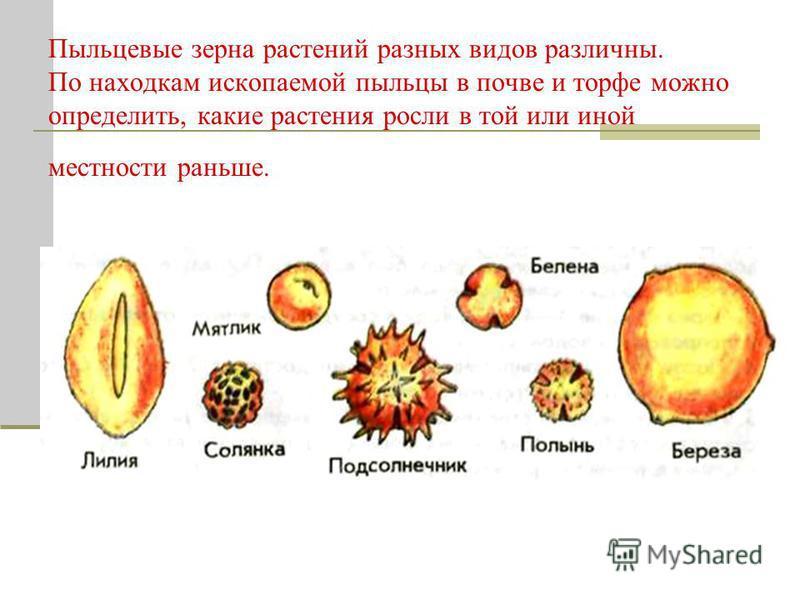 Пыльцевые зерна растений разных видов различны. По находкам ископаемой пыльцы в почве и торфе можно определить, какие растения росли в той или иной местности раньше.